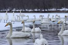 Swans On Lake Kussharo In Hokk...