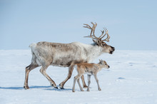 Reindeer In The Spring, Female...
