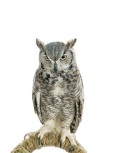 Owl Bird Isolated On White Background. Front View Of Long Ear Owl Bird Perch On A Rail Roost Isolated