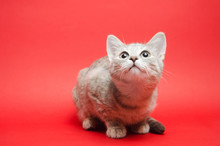 Gray Tabby Cat On A Red Backgr...