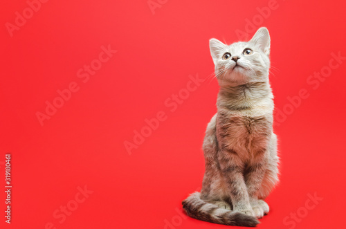 Fotomural Gray tabby cat on a red background