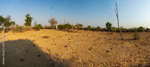 Panoramic view of buffalo cattle and safari car