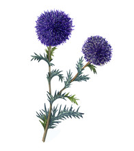 Watercolor Blue Globe Thistle ...