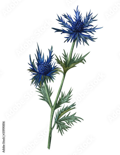 Watercolor feverweed, thistle, blue thorn Fototapeta