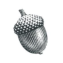 Acorn. Hand Drawn Engraving Style Illustrations.
