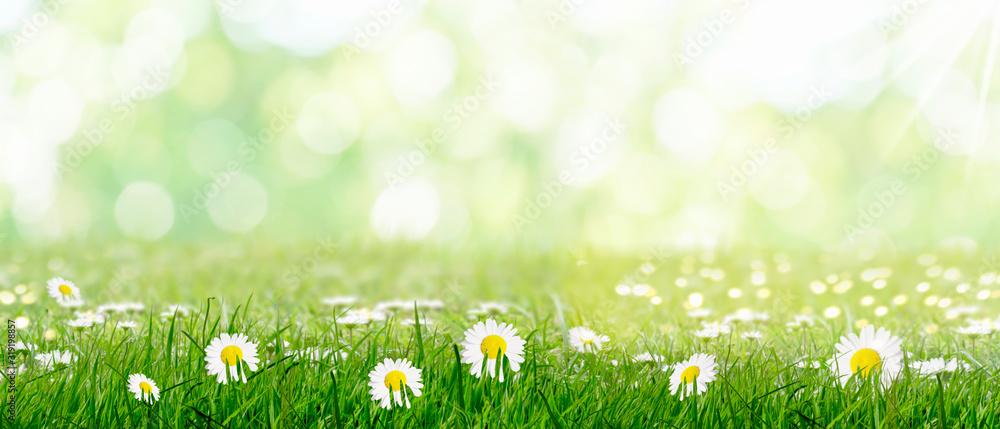 Fototapeta harbingers of spring green meadow with daisies