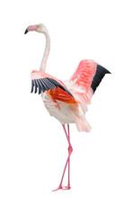 Single Pink Flamingo Bird Isolated On White Background