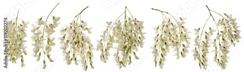 Photo Acacia flower isolated