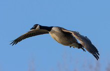 Greater Canada Goose In Flight...