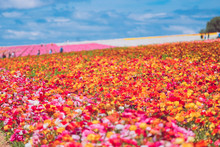 Beautiful Flower Sea In Carlsb...