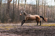Elegant buckskin akhal teke breed mare running in canter in the field near trees. Animal in motion.