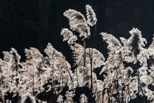 Blooming Reeds On A Pond In Backlight