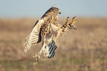 Birds Of Prey Young Northern H...