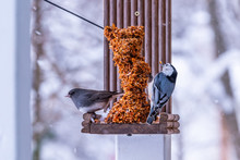 Dark Eyed Junco And Nuthatch B...