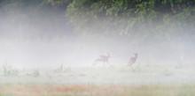 Roebuck Chasing Female Deer In...