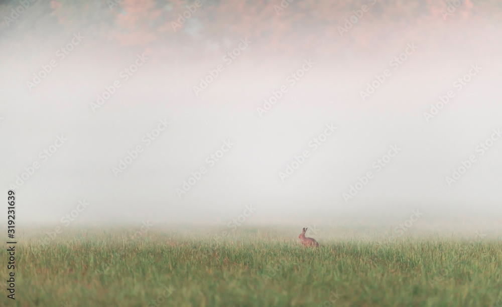 Fototapeta One hare sitting in misty meadow at sunrise.