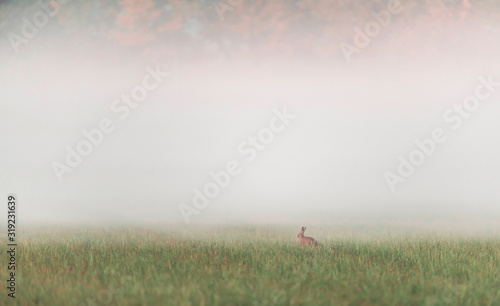 Obraz One hare sitting in misty meadow at sunrise. - fototapety do salonu