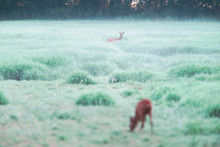 Two Roe Deer In Foggy Pasture.