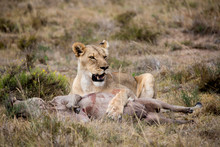 Lioness With Dead Animal On Field