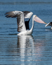 Pelican Floating On Lake