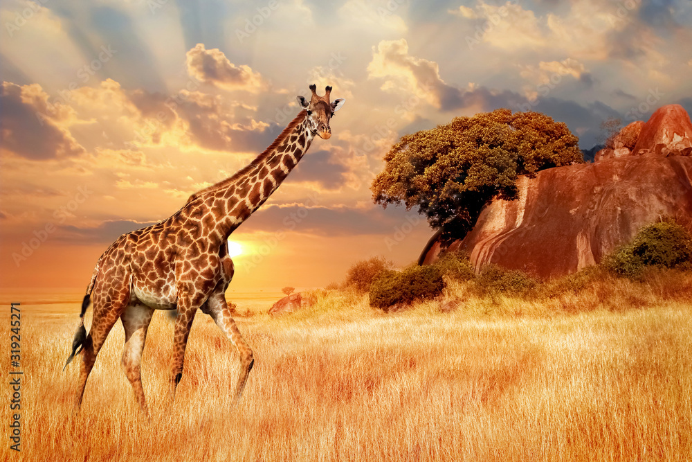 Fototapeta Cheetahs in the African savanna against the backdrop of beautiful sunset. Serengeti National Park. Tanzania. Africa.