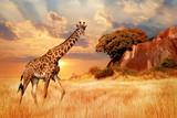 Fototapeta Sawanna - Cheetahs in the African savanna against the backdrop of beautiful sunset. Serengeti National Park. Tanzania. Africa.