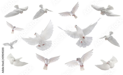 collage free flying white dove isolated on a white Canvas Print