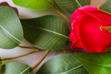 Lotus Leaf On Green Background
