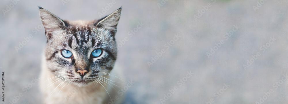 Fototapeta Banner design - cat  with blue eyes