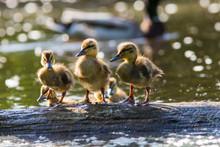 Mallard Babies In Spring