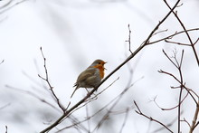 European Robin Redbreast Sits On A Thin Branch In Winter An Singing With Its Beak Wide Open, Erithacus Rubecula