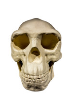Replica Of Skull Of Peking Man...