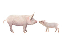 Big Pig And Piglet Isolated On White