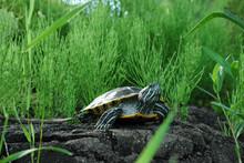 Beautiful Turtle Among High Gr...