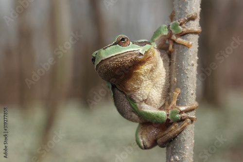 Photo European tree frog (Hyla arborea) climbing the tree in natural habitat, small gr
