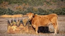 Closeup Shot Of A Cow Beside A Feeding Trough Full Of Hay