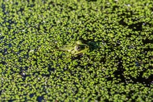 Closeup Shot Of A Green Frog Swimming In The Water With Full Of Green Plants