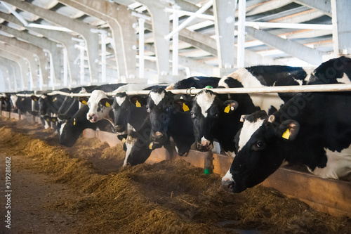 Foto Cows in a farm. Dairy cows