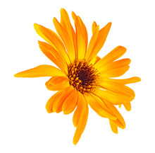 Marigold Flower Head Isolated ...