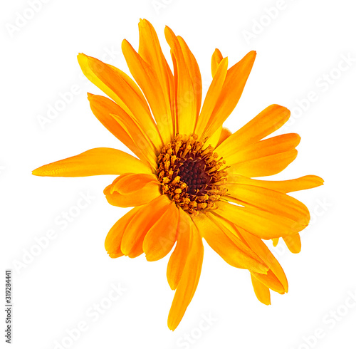 Obraz Marigold flower head isolated on a white background. Calendula flower. - fototapety do salonu