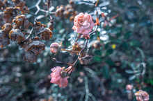 Cool Toned Small Pink Roses An...