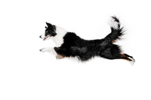 Border Collie Dog A Magnificent Jump On A White Background Dog Tricks