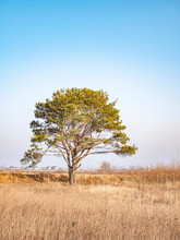 Lonely Standing Pine Tree In T...