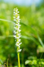 White Bog Orchid In Fern Harbo...
