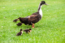 Mother Goose And Small Goslings Walk Outdoors