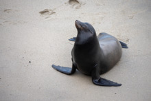 Large Adult Sea Lion Standing ...
