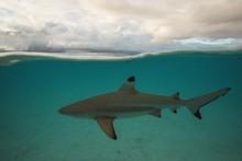 Black Tip Reef Shark Swims On ...