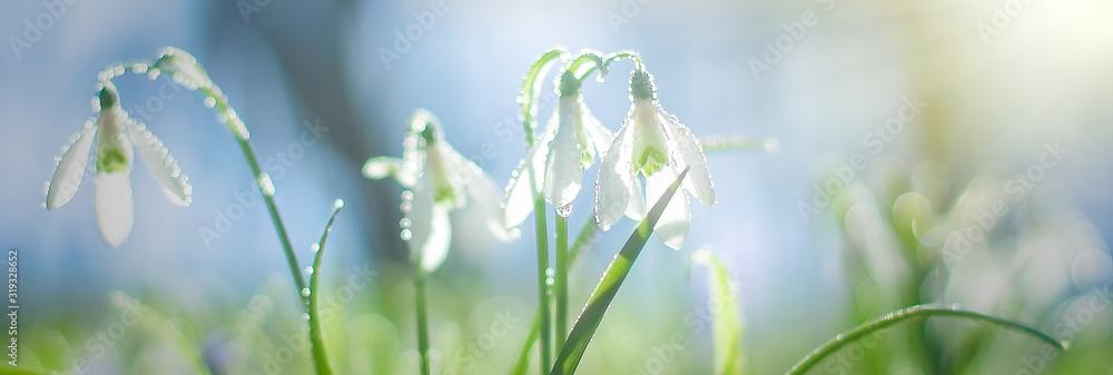 Fototapeta Galanthus, snowdrop flowers. Fresh spring snowdrop flowers. Snowdrops at last year's yellow foliage. Flower snowdrop close-up. Spring flowers in the snow