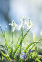 Galanthus, Snowdrop Flowers. F...