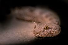 Snake Of Sahara